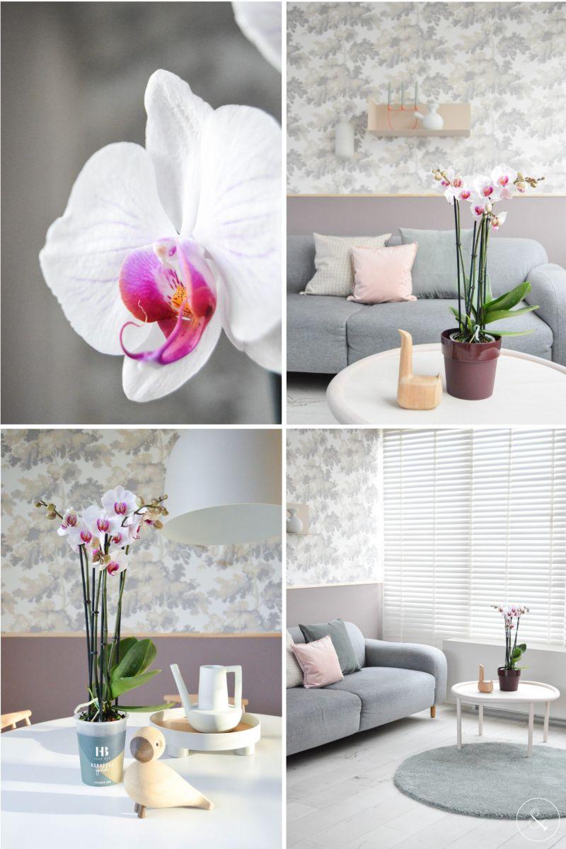 Caring for Phalaenopsis