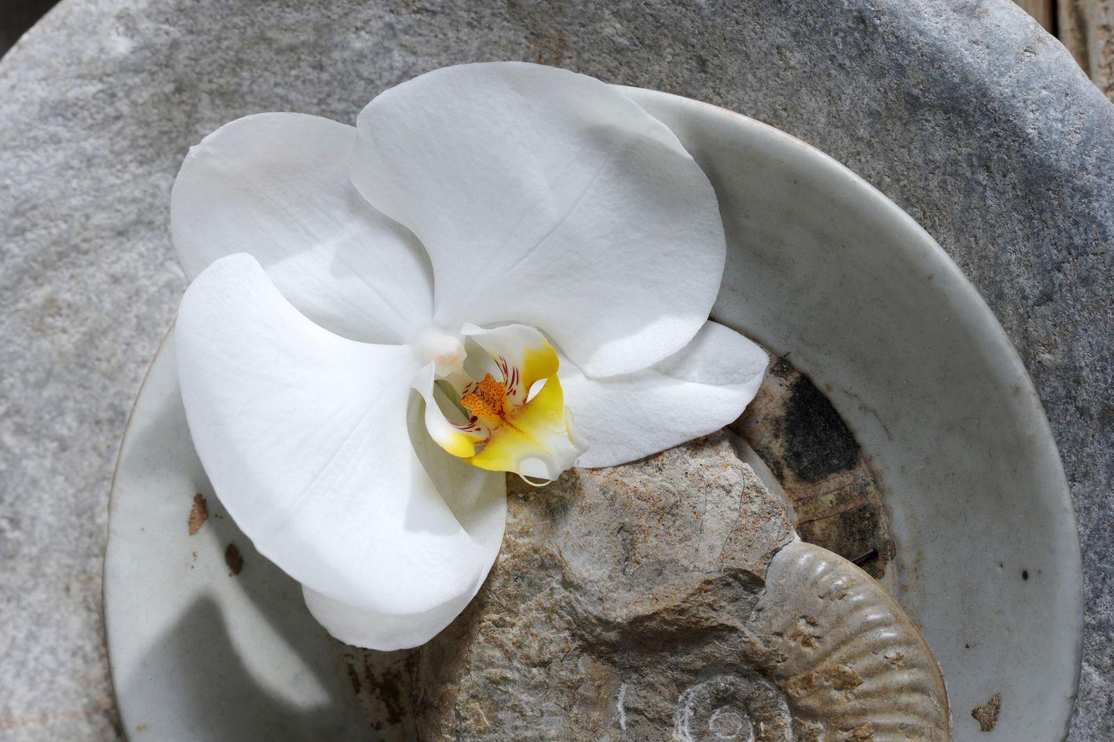 what does the phalaenopsis symbolize