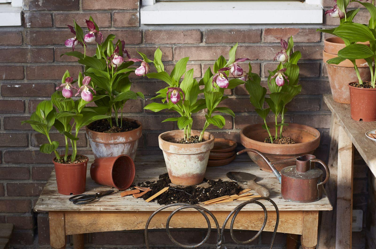 je orchidee naar buiten in de zomer