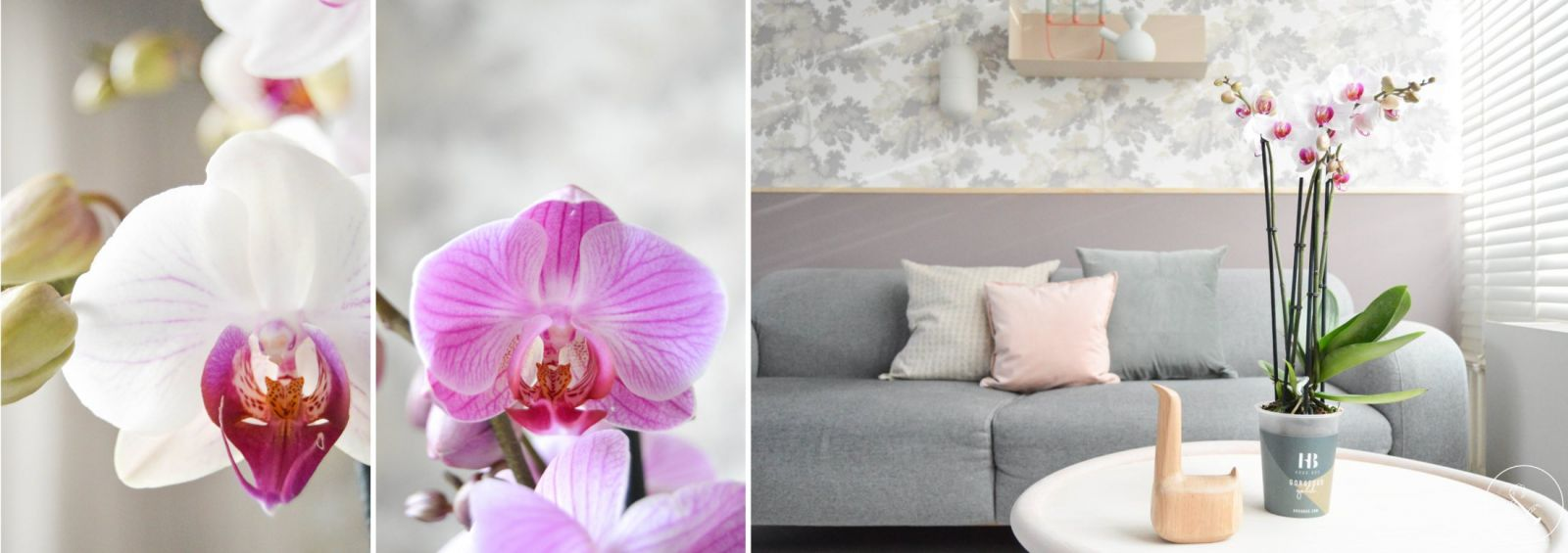how to maintain a phalaenopsis