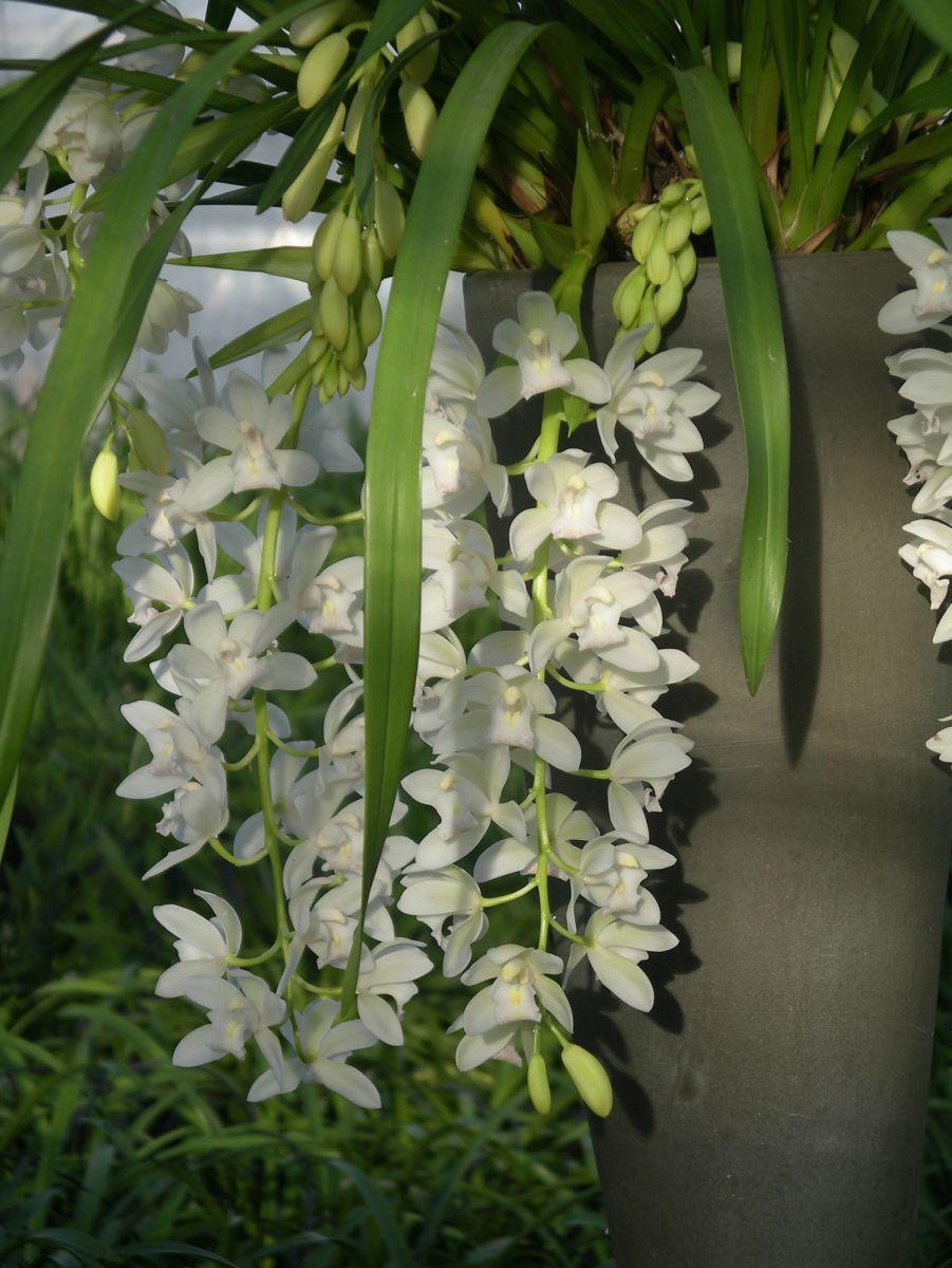 http://orchidsinfo.eu/bluecms/uploads/ckeditor_files/images/Cymbidium-cascadesblandelijkwit_klein.jpg