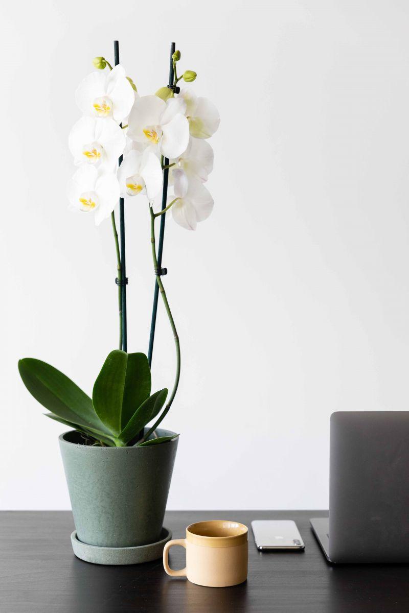 phalaenopsis orchidee voor jouw thuiswerkplek